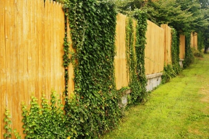 Fast Growing Fence Covering Plants